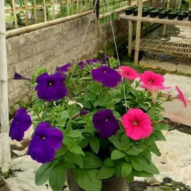 Jual Tanaman Hias Bunga Petunia Pot Gantung Kab Bogor Budtanaman Hias Tokopedia