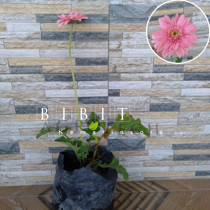 Jual Tanaman Hias Bunga Gerbera Pink Hebras Pink Kota Batu Bibit Buah Kemarin Sore Tokopedia