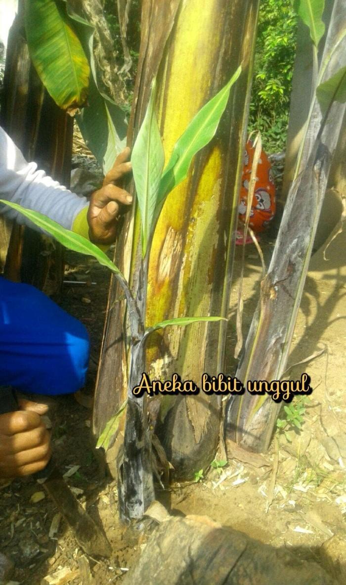 Jual BIBIT BUAH PISANG KLUTUK WULUNG ATAU KLUTUK ATAU PISANG BATU ATAU Jakarta Pusat Auristela01
