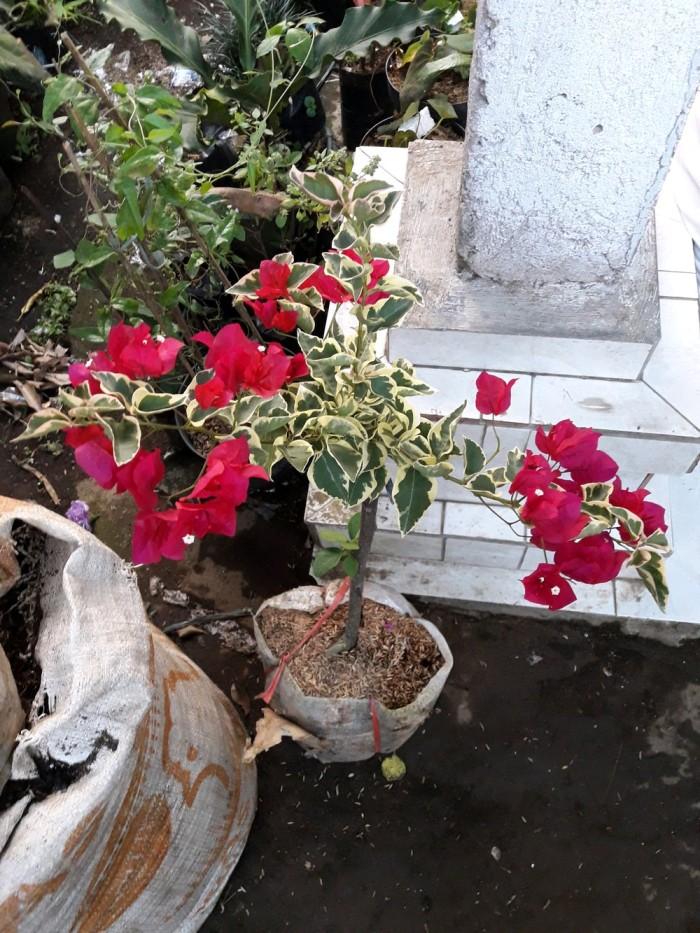 Jual Bunga Bugenvil Varigata Kota Semarang Widyani Dwi Yulianti Tokopedia