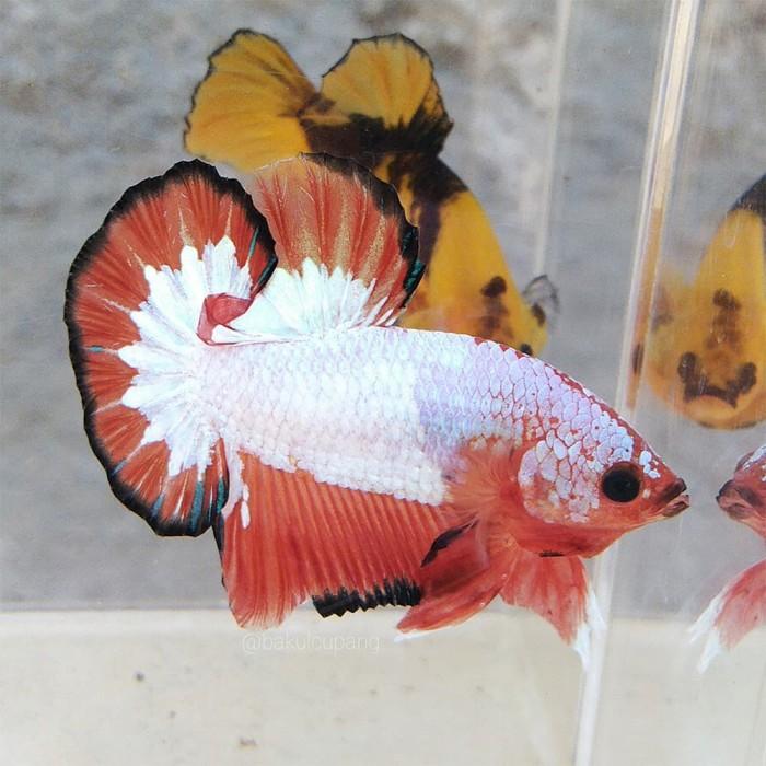 Jual Ikan Cupang Plakat Ws Orange Fullmask Betta Fish White Scale Kab Klaten Bakulcupang Tokopedia