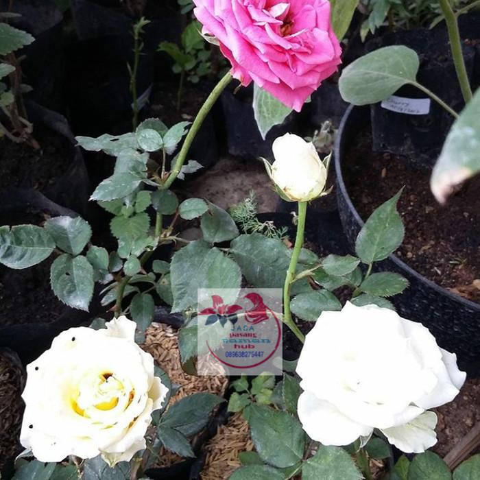 Jual Pohon Bunga Mawar Putih Tanaman Bunga Mawar Putih Kab Bogor Rony Cahaya Taman Tokopedia