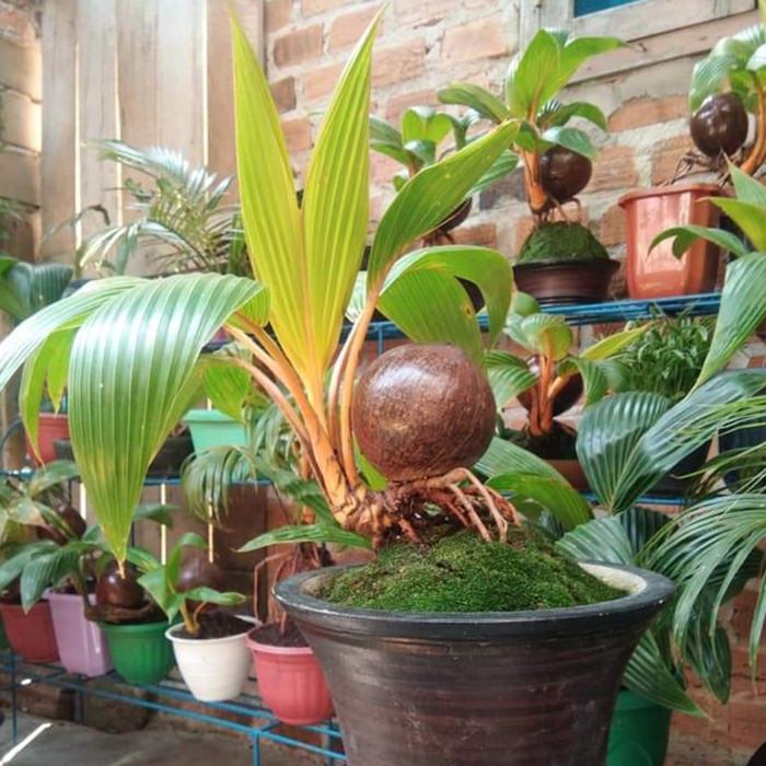 Jual Tanaman Hias Bonsai Pohon Kelapa Gading 4 Tahun Jakarta