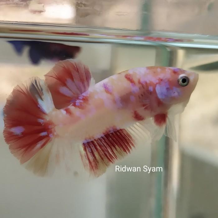 Jual Ikan Cupang Nemo Galaxy Kota Tasikmalaya J Ta Betta Tokopedia