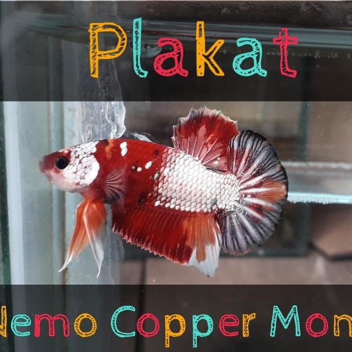 Jual Cupang Nemo Gold Copper Series Kota Tangerang Bettatanser Tokopedia