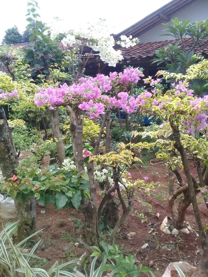 Jual Pohon Bonsai Bugenvil Bunga Kertas Aneka Koleksi Kab Kudus Raniashopp43 Tokopedia