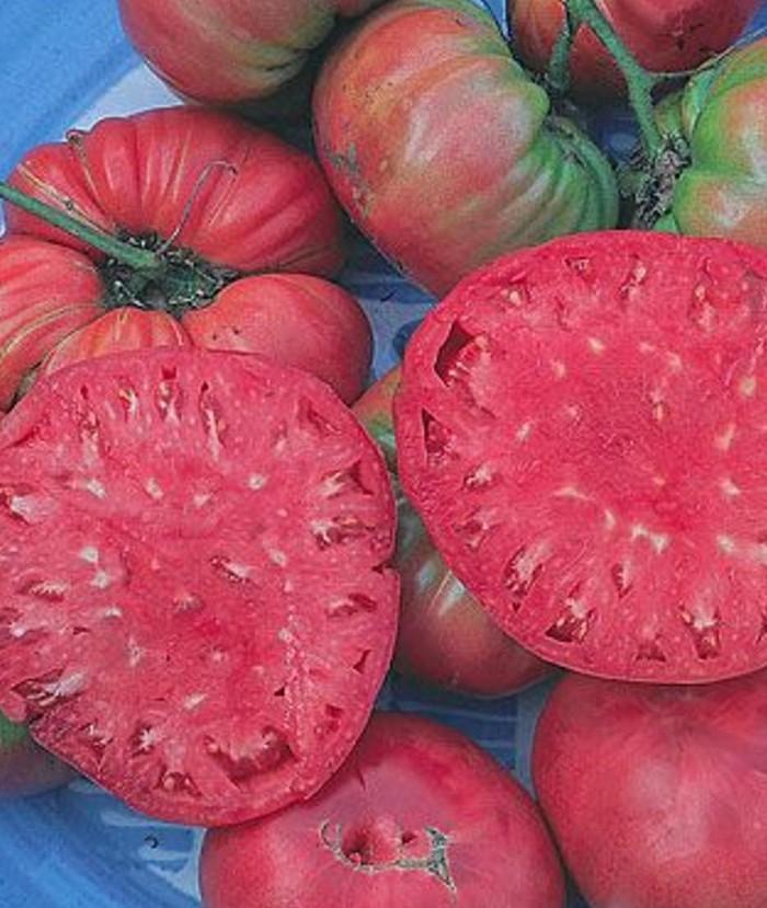 Jual Benih Bibit Seeds Sayur Tomat Pink Tomato Giant Belgium Pink Mudah Jakarta Barat Drianlarsen Tokopedia