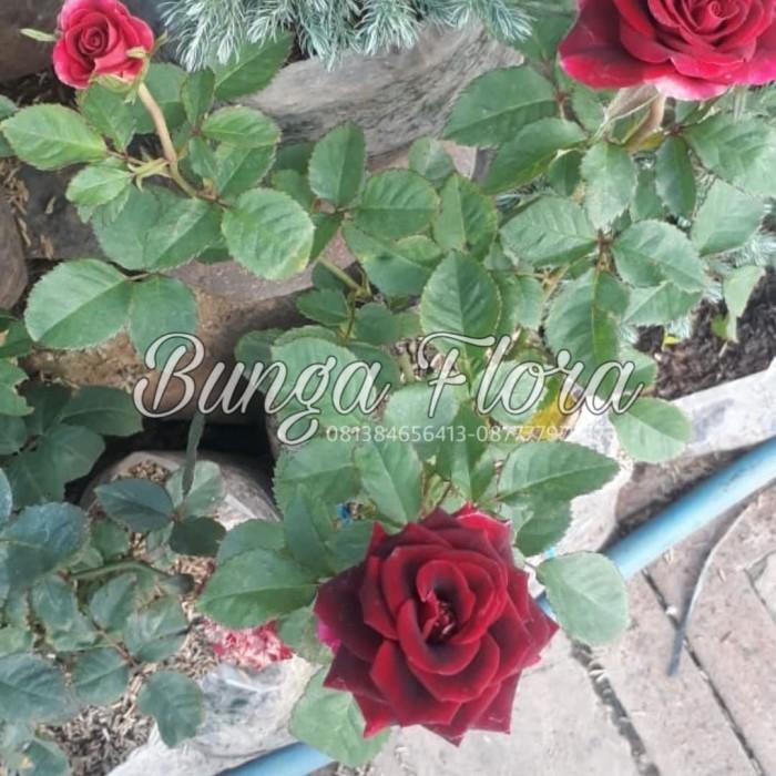 Jual Tanaman Hias Bunga Mawar Kombinasi Warna Jakarta Utara Bunga Flora Tokopedia