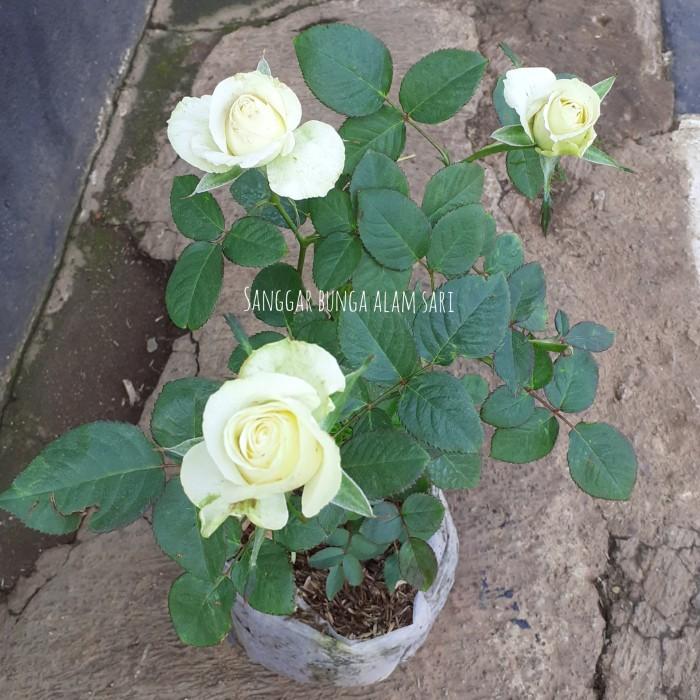 Jual Tanaman Hias Bunga Mawar Putih Jakarta Utara Sanggar Bunga Alam Sari Tokopedia