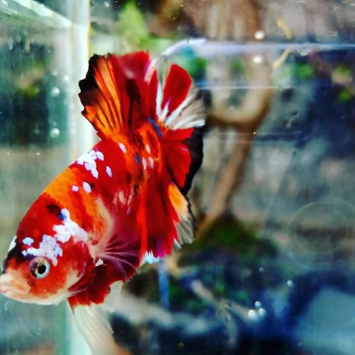 Jual Ikan Cupang Nemo Galaxy Leopard Kab Tangerang Betta Id Tokopedia