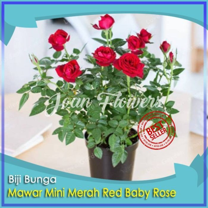 Jual Bibit Tanaman Bunga Mawar Mini Merah Red Baby Rose Benih Bibit Tanaman Kota Kediri Bibit Bunga Impor Tokopedia