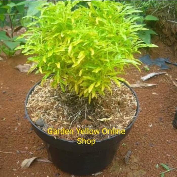 Jual Tanaman Hias Brokoli Kuning Plus Pot Jakarta Utara Garden Yellow Zelsa Tokopedia