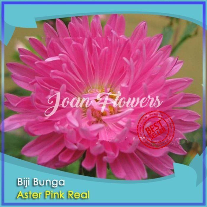 Jual Bibit Tanaman Bunga Aster Pink Benih Bibit Tanaman Hias Untuk Dekorasi Kota Kediri Bibit Bunga Impor Tokopedia
