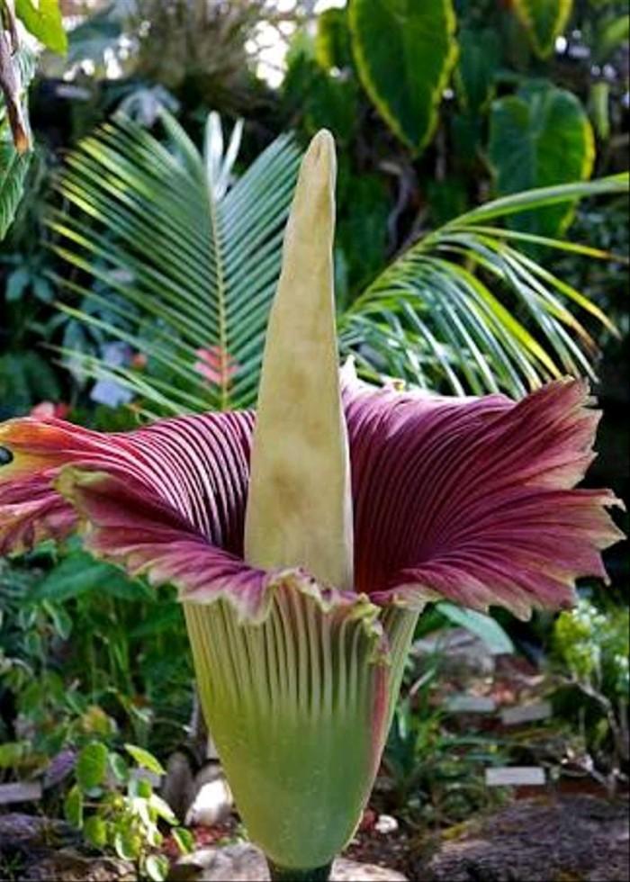 Jual Bunga Bangkai Amorphophallus Titanum Bunga Langka Kota