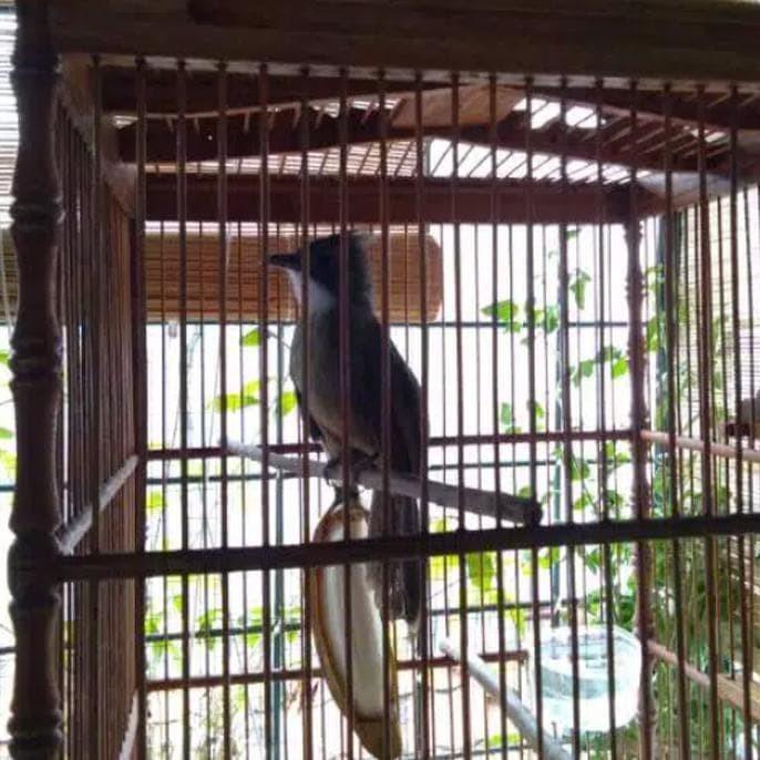 Jual Cucak Jenggot Jakarta Selatan Handaru Pet Shop Tokopedia