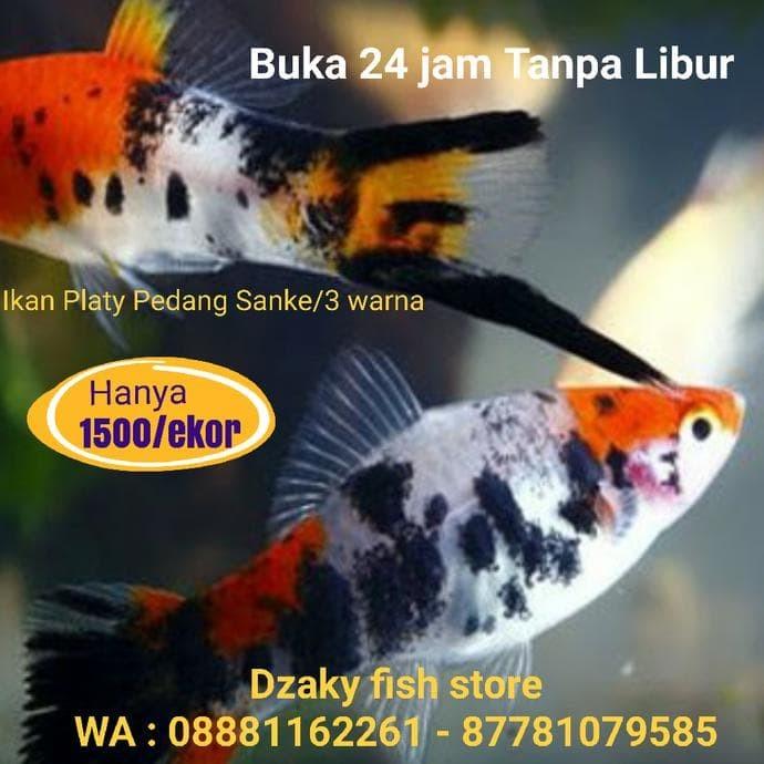 Jual Baru Ikan Hias Platis Platy Pedang Sanke Koi Swordtail Fish Jakarta Selatan S A S Store S Tokopedia