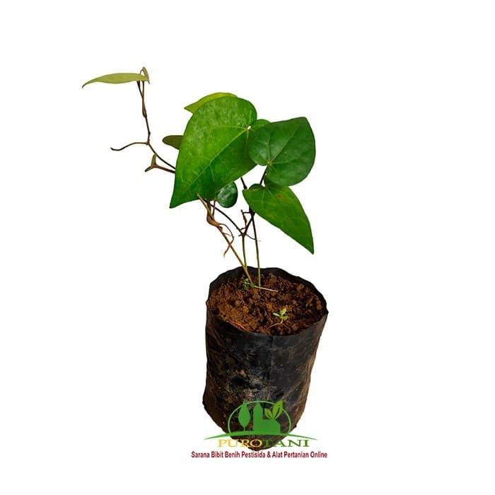Foto Produk Tanaman Pohon Bibit kemukus Unggul dari Purotani