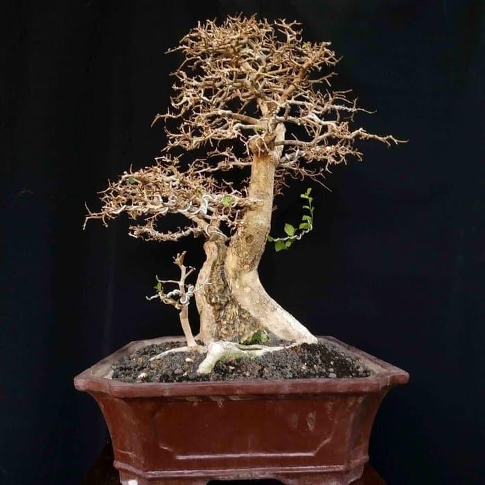 Jual Tana Man Hias Mini Bonsai Pohon Serut Matang Juara Kota