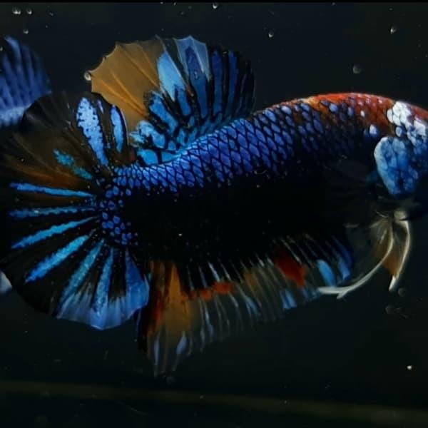 Jual Ikan Cupang Black Nemo Avatar Kab Bogor Bettaden Tokopedia