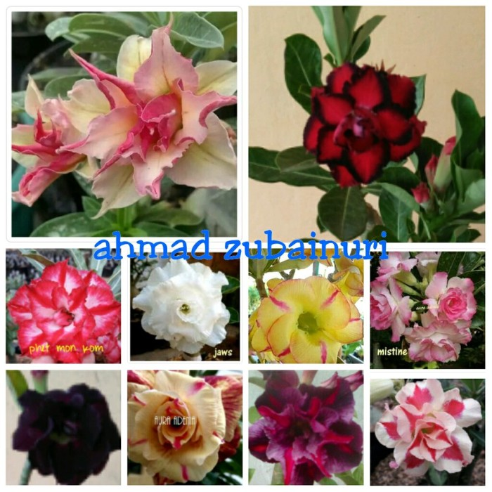 Jual Bunga Adenium Kamboja Jepang Treple Terbaru Paket 10btg Grab It Fast Kota Yogyakarta Diannnshop Tokopedia