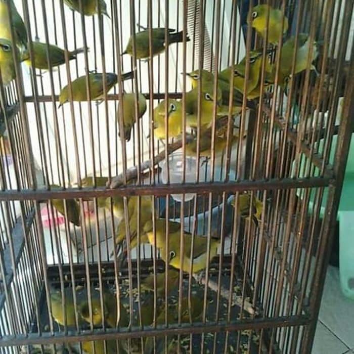 Jual Paling Baru Burung Pleci Dakun Garut Terhot Kab Karawang Alyana555 Tokopedia