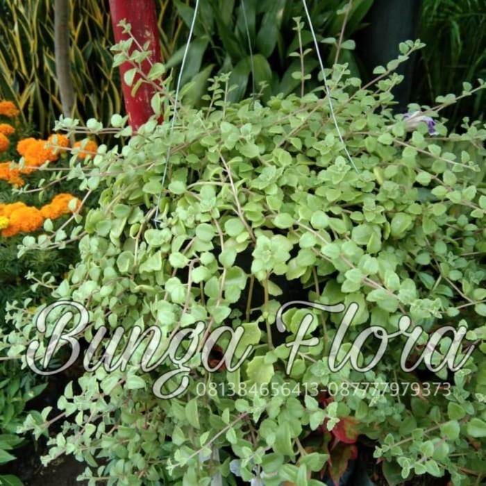 Jual Tanaman Hias Bunga Sedum Gantung Jakarta Utara Bunga Flora Tokopedia