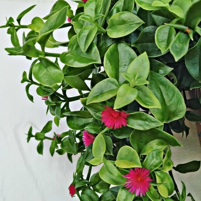 Jual Tanaman Hias Gantung Aptenia Cordifolia Bunga Merah Kab Bandung Barat Karitani Tokopedia
