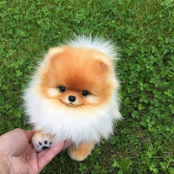 Jual Beli Anjing Mini Pom Jakarta