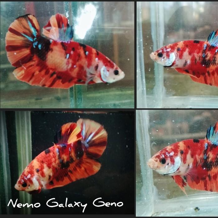 Jual Ikan Cupang Nemo Galaxy Geno Kota Semarang Dankazano Tokopedia