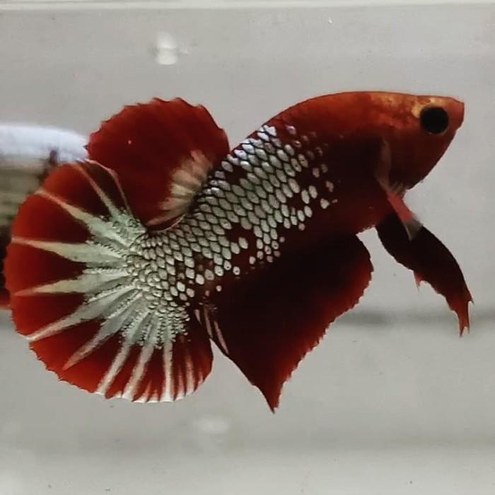 Jual Ikan Cupang Fccp Redhead Jakarta Timur Vload Tokopedia