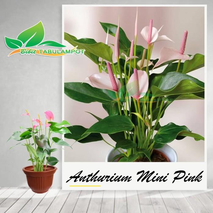 Jual Tanaman Hias Bunga Anthurium Mini Pink Tanaman Hidup Kota Batu Bibit Tabulampot Tokopedia