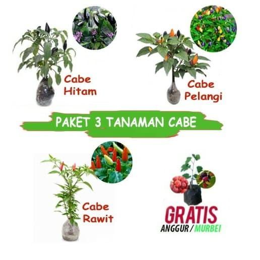 Foto Produk paket tanaman cabe isi 3 dari Barokah Florist Official