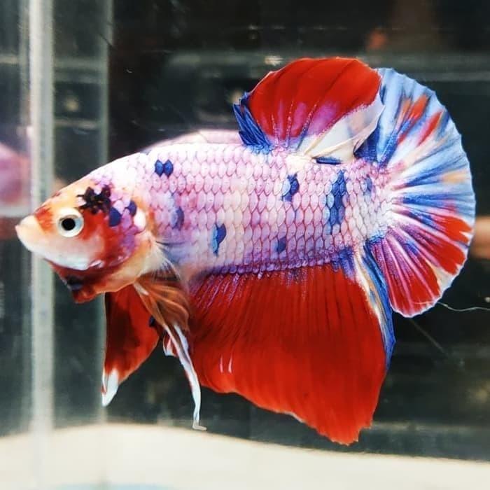 Jual Ikan Cupang Giant Nemo Candy Multicolor Mantap 0 Kab Bogor Pecinta Ikan Hias Tokopedia