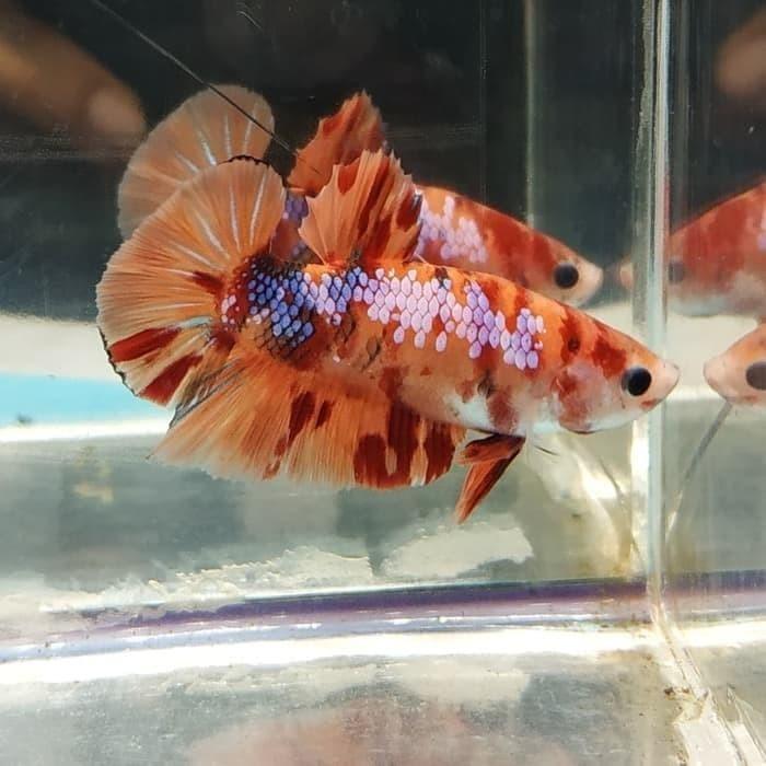 Jual Ikan Cupang Nemo Candy Galaksi Jantan Size M 01 Kab Bogor Pecinta Ikan Hias Tokopedia