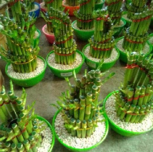 Jual Grosir 3 Bibit Tanaman Bambu Rejeki Hoki Tanaman Hias Farhatnuju Jakarta Selatan Farhatnuju Tokopedia