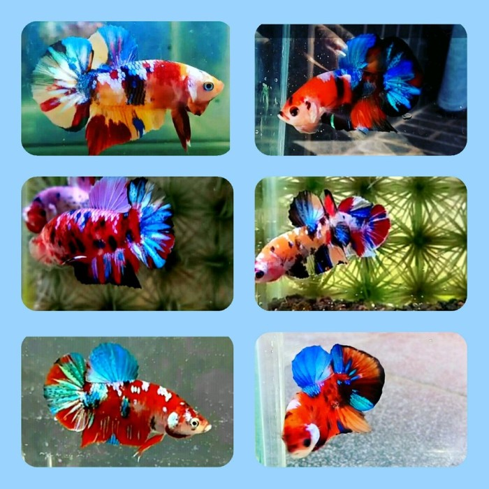Jual Aquarium Ikan Cupang Hias Plakat Nemo Emerald Galaxy Onderdil Kota Bandar Lampung Roroay06u Tokopedia