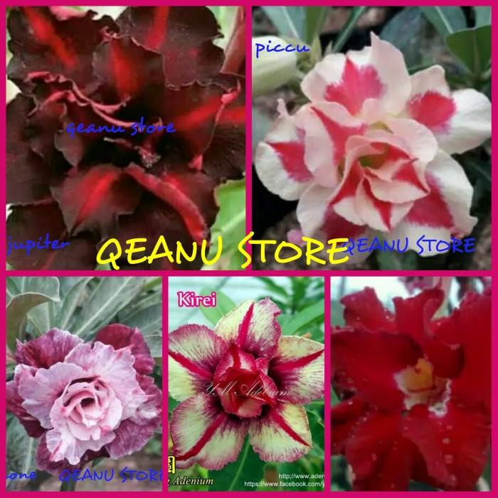 Jual Bibit Tanaman Bunga Adenium Kamboja Paket 5 Warna Terbaru Kota Metro Qeanu Store Tokopedia
