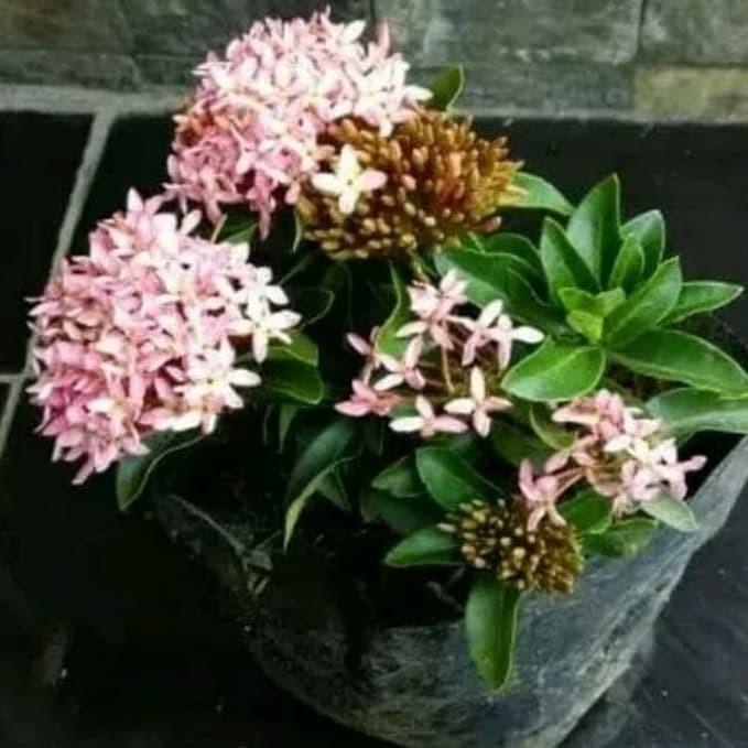 Jual Tanaman Hias Asoka Bunga Pink Soka Jambon Kab Bogor Tanamanidahh Tokopedia
