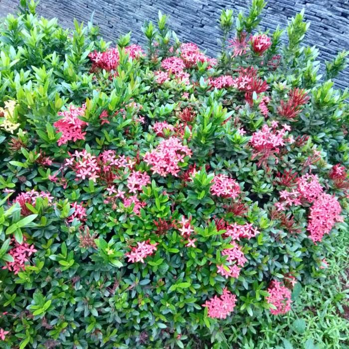 Jual Tanaman Bunga Asoka Soka Merah Kab Bogor Rony Cahaya