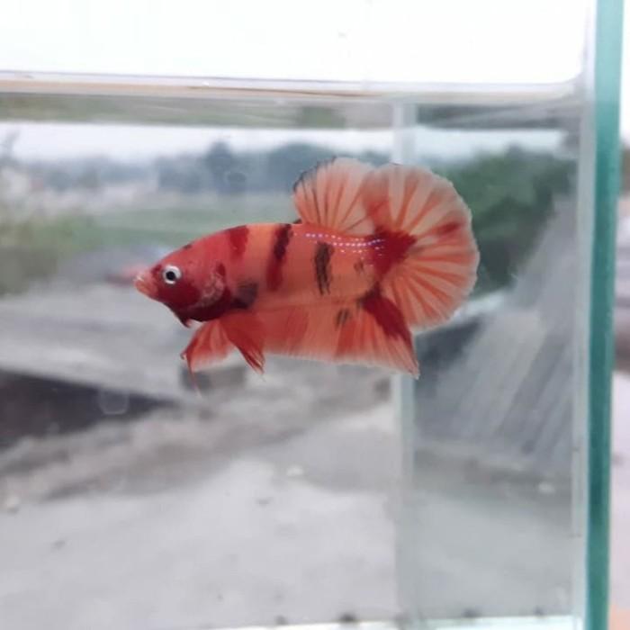 Jual Ikan Cupang Hias Nemo Orange Base Kota Bekasi Part Layak Tokopedia