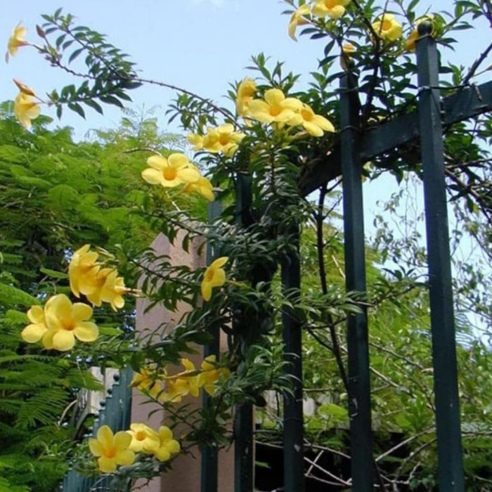 Jual Pohon Alamanda Bunga Kuning Tanaman Hias Rambat Bunga Alamanda Kuning Kab Bogor Icha Taman Tokopedia