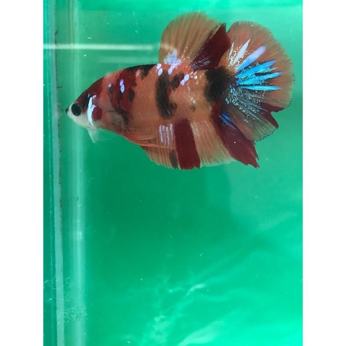 Jual Ikan Cupang Nemo Avatar Multicolour Galaxy 131012020 Jakarta Timur Kmj Cupang Tokopedia