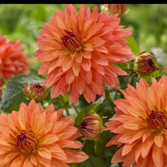 Jual Tanaman Hias Bunga Dahlia Orange Kota Batu Mauladan Garden Tokopedia