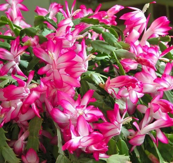 Jual Bibit Tanaman Bunga Wijaya Kusuma Kepiting Pink Kab Tangerang Darsyana Tokopedia