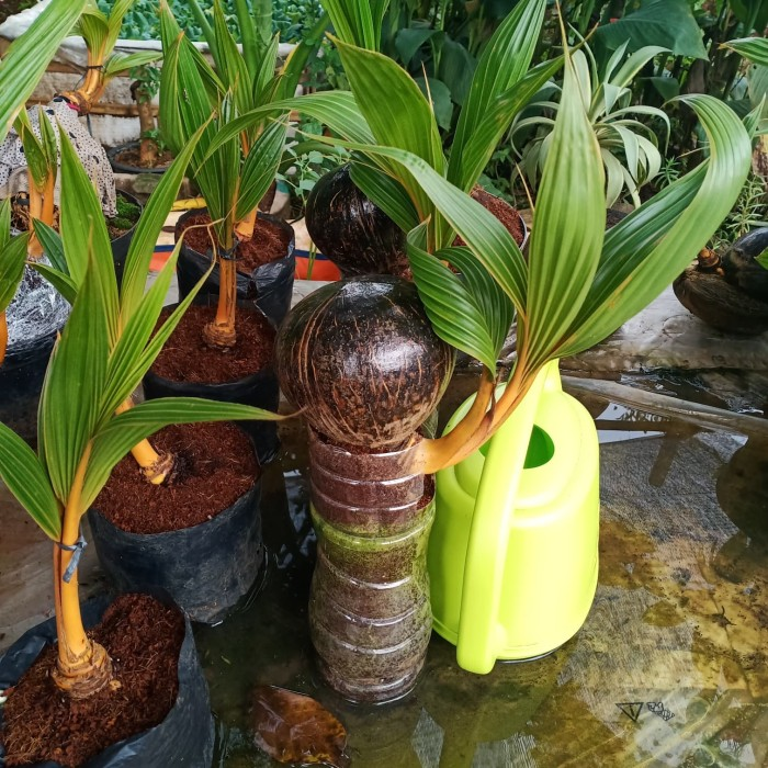 Jual Bonsai Kelapa Gading Bonsai Kelapa Kuning Kab Bogor