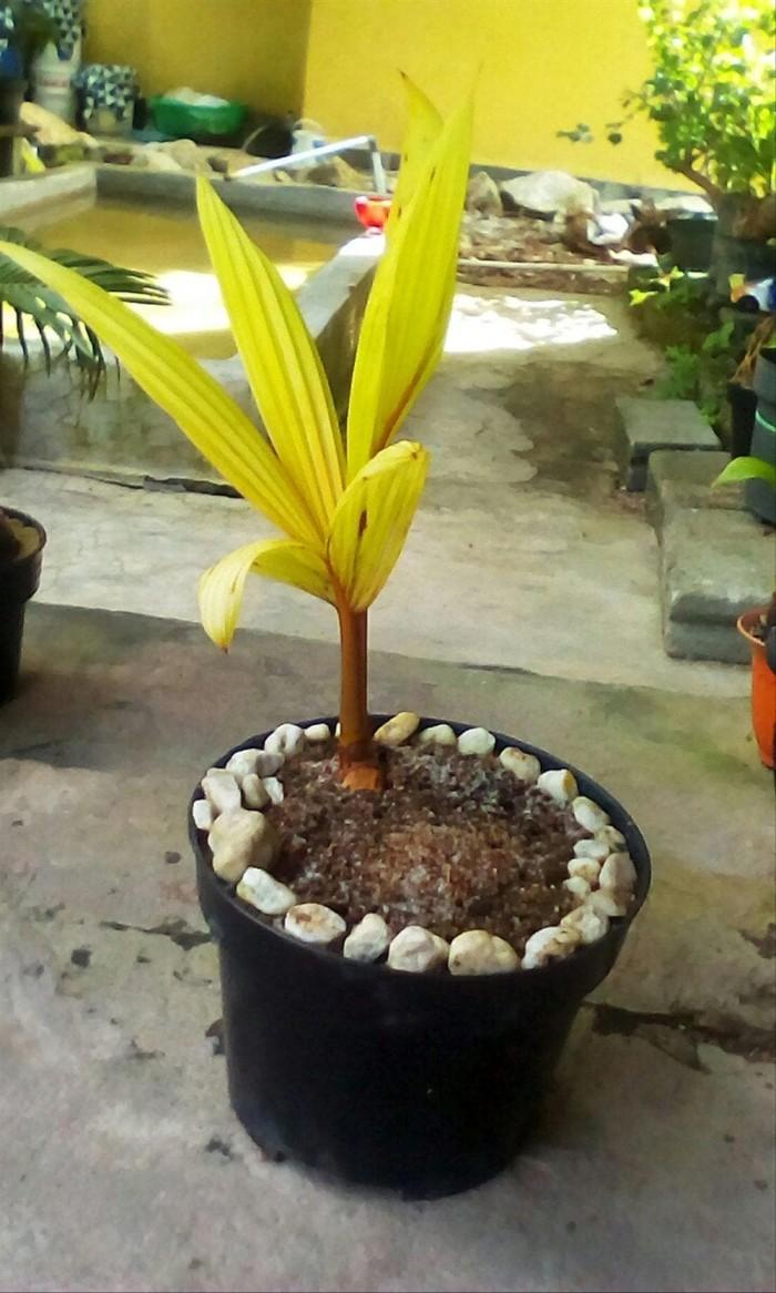 Jual Paling Terpopuler Bonsai Kelapa Gold Oren Baik Jakarta