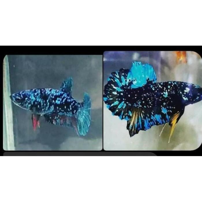 Jual Terlaris Ikan Cupang Avatar Gordon X Kalimaya Baby Basgel Murah Kota Bogor Brendi Store28 Tokopedia