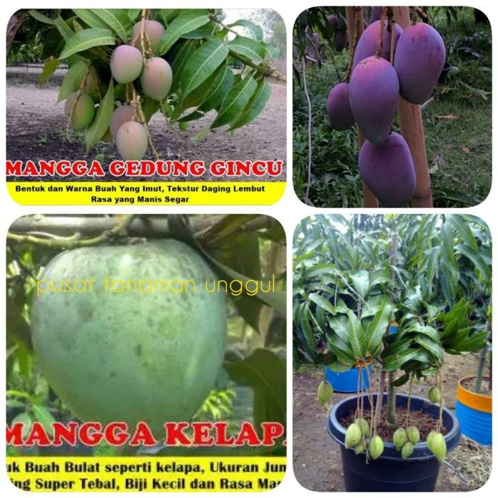 Foto Produk bibit buah mangga 4 macam grab it fast dari yudha shope shope