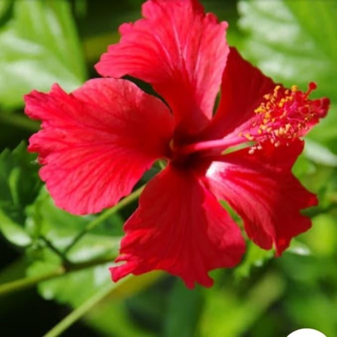 Jual Pohon Kembang Sepatu Warna Merah Kab Bogor Calistataman Tokopedia