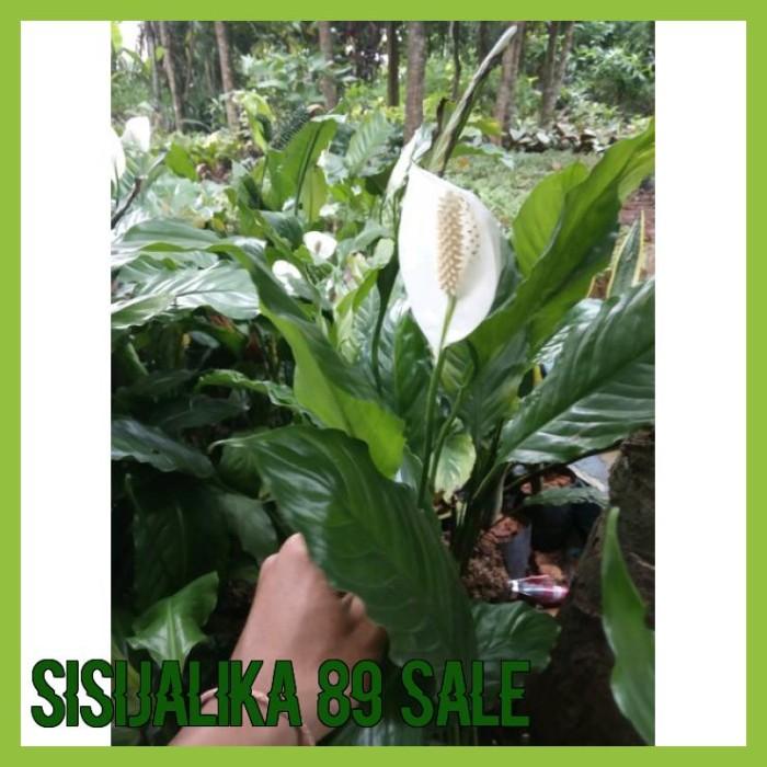 Jual Hot Tanaman Hias Sepatu Filum Tanaman Sepatu Filum Bunga Sepatu Filum Jakarta Selatan Sisijalika 89 Sale Tokopedia